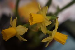 Yellow daffodils close-up on a multi-colored blurred background royalty free stock image