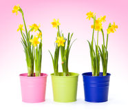 Yellow daffodils in colorful pails Royalty Free Stock Photography