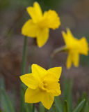 Yellow daffodils. Cultivated, in a garden Stock Image
