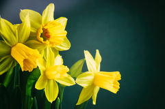 Yellow daffodils on dark green background Stock Images