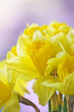 Daffodils. Yellow daffodils on defocused background Stock Photo