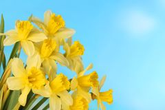 Yellow daffodils easter holidays. In front of blue sky stock image