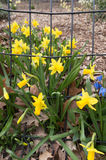 Yellow daffodils escaping the park in spring outdoor closeup Royalty Free Stock Image