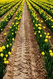 Yellow daffodils on a farm royalty free stock photos