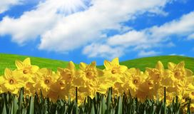 Yellow daffodils in field. Plenty of yellow daffodils in the field on a sunny day Stock Photos