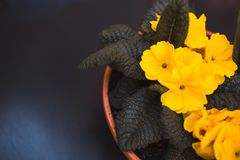 Yellow daffodils Flower in a ceramic pot vase on black table, top view displayed near a window. royalty free stock image