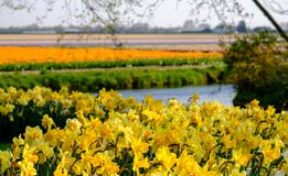 Yellow daffodils with flower fields behind at Keukenhof Gardens, Lisse, South Holland. Photographed in HDR high dynamic range. Vibrant yellow daffodils with royalty free stock photography