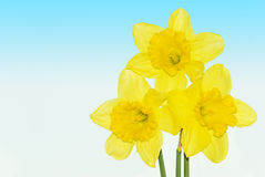 Yellow daffodils flowers. Yellow daffodils isolated on white background with blue gradient Royalty Free Stock Photography