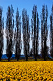 Yellow Daffodils Flowers Cypress Trees Skagit Royalty Free Stock Images