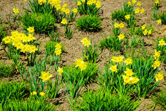 Yellow daffodils flowers in garden. Nature. Stock Photo