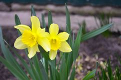 Yellow daffodils flowers spring royalty free stock photography