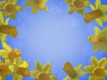 Yellow daffodils in the form of a frame. Royalty Free Stock Photos