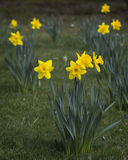 Yellow daffodils. In a garden Stock Photography