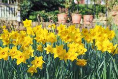 Yellow daffodils blooming in the spring garden on a sunny day. View of beautiful yellow daffodils blooming in the spring garden on a sunny day stock photos