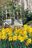 Yellow daffodils blooming in the spring garden on a sunny day. View of beautiful yellow daffodils blooming in the spring garden on a sunny day stock images