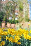 Yellow daffodils blooming in the spring garden on a sunny day. View of beautiful yellow daffodils blooming in the spring garden on a sunny day royalty free stock photo