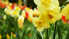 Yellow daffodils in the garden in the foreground. In the background are tulips. stock video footage