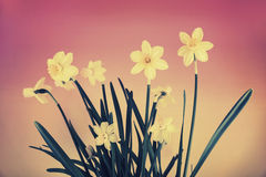 Yellow Daffodils on Gradient Background - Retro Royalty Free Stock Photo