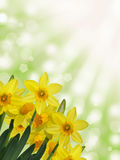 Yellow daffodils with green and yellow sunny abstract bokeh background Stock Image