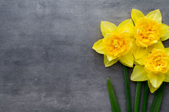 Yellow daffodils on a grey background. Easter greeting card. Royalty Free Stock Photo