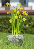 Yellow daffodils in grey stone pot Stock Images