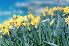 Yellow daffodils Stock Image