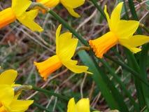 Yellow daffodils. Group of yellow daffodils in english garden stock photo