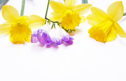 Yellow daffodils and lilac flower on white Royalty Free Stock Photography