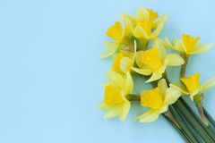 Yellow daffodils are located on a blue background stock image