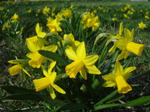 Yellow daffodils. On meadow in spring Royalty Free Stock Photo