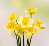 Yellow daffodils (narcissus) flowers, close up, green to yellow gradient background Stock Photo