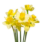 Yellow daffodils (narcissus) flowers, close up, white background, isolated Royalty Free Stock Image