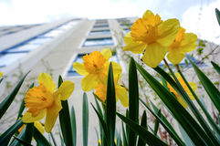 Yellow daffodils (narcissus,jonquil) in spring. Beautiful yellow daffodils (narcissus,jonquil) in front of building royalty free stock image