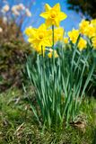Yellow Daffodils On Garden In Early Spring Royalty Free Stock Image