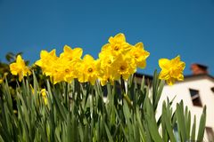 Yellow Daffodils On Garden In Early Spring. Royalty Free Stock Photos