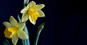 Yellow Daffodils over back baskground Stock Photography