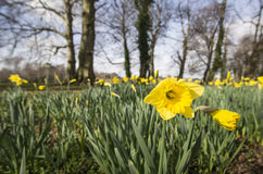 Yellow Daffodils Stock Images