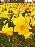 Yellow Daffodils   in the park in spring stock image