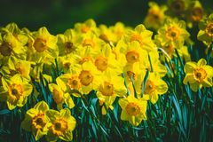 Yellow Daffodils in a park in Spring stock photography