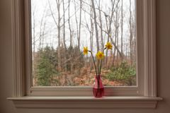 Yellow daffodils in a pink vase on a white windowsill on a gray afternoon. Three yellow daffodils in a pink vase on a white windowsill on a gray afternoon stock photos
