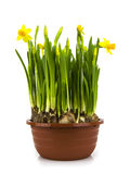 Yellow daffodils in a pot Royalty Free Stock Images