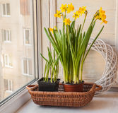 Yellow daffodils in a pot Royalty Free Stock Image