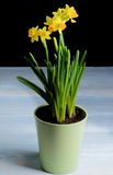 Yellow Daffodils in Pot Royalty Free Stock Photo