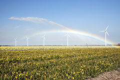 Yellow daffodils and rainbow. Sprinkling of yellow daffodils field which creates rainbow and windmills in the background royalty free stock photo