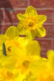 Yellow Daffodils with red brick background Stock Photos