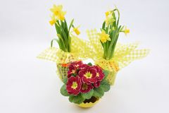 Yellow daffodils and red primrose. Spring flowers: yellow daffodils and red primrose, on white background royalty free stock image