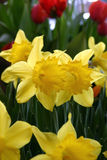 Yellow Daffodils and Red Tulips. Daffodils and Tulips Stock Photo