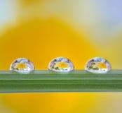 Yellow daffodils reflexion in drops. Yellow daffodils reflexion in dew drop Royalty Free Stock Image