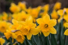 Yellow Daffodils in Selective Focus Photography stock photography