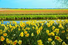 Yellow daffodils. Spring Dutch landscape stock images